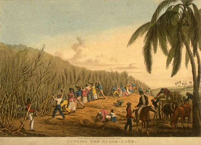 Sugar Cane Cultivation 3